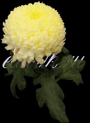 Хризантема «Дека»