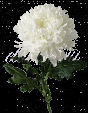 Хризантема «Антонов белый»