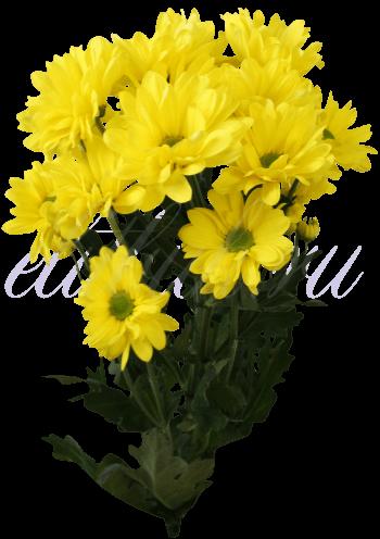 Хризантема «Бакарди Желтый»