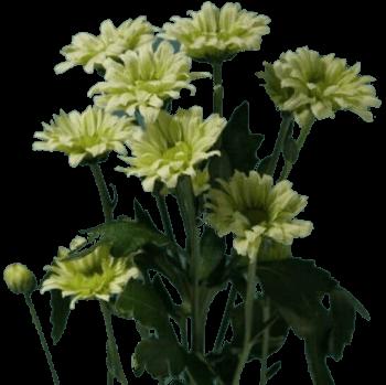 Хризантема «Грин лизард»
