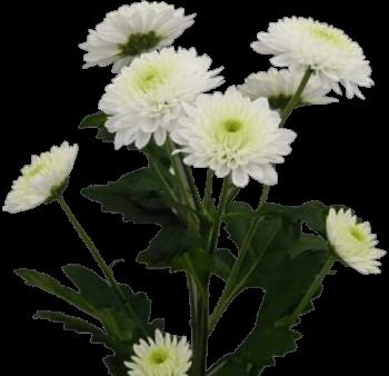 Хризантема «Ибис Белый»
