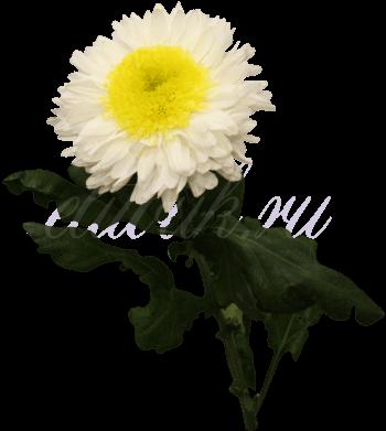 Хризантема «Инга»