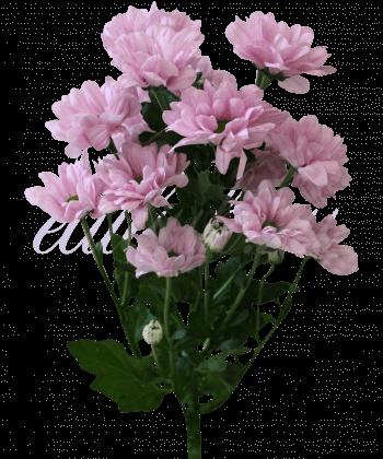 Хризантема «Катенька»