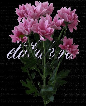 Хризантема «Реиган розовый»