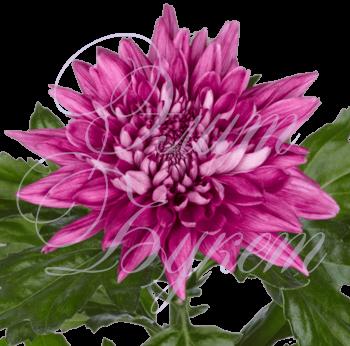 Хризантема «Резюме»