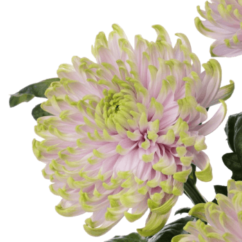 Хризантема «Россана»