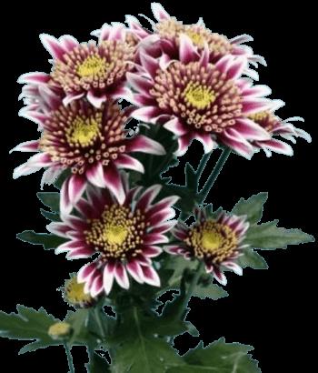 Хризантема «Саба»