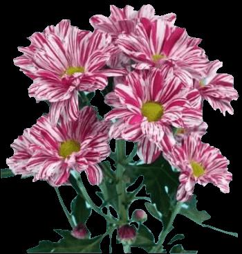Хризантема «Стилист»