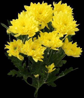 Хризантема «Зембла желтая»