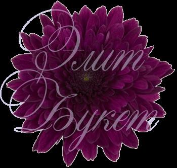 Хризантема «Барка»