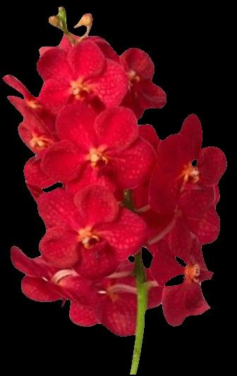 Орхидея «Ванда красная»