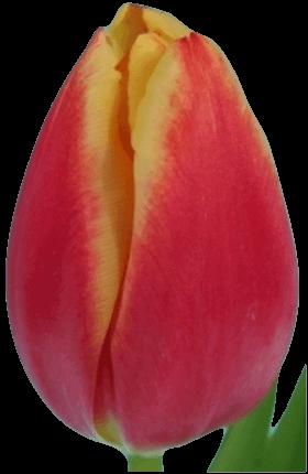Тюльпан Лин ван дер Марк (Tulip Leen van der Mark)