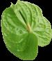 Антуриум зеленый