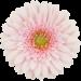 Гербера бело-розовая