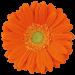 Гербера ярко оранжевая