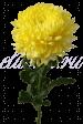 Хризантема «Антонов желтый»