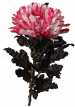 Хризантема «Антонов малиновый»