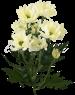 Хризантема «Бакарди Просекко»