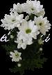 Хризантема «Бакарди белая»