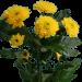 Хризантема «Ибис Желтый»