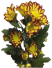 Хризантема «Рома фиеста»