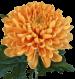 Хризантема «Виллем»