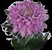 Хризантема «Ксения»