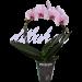Орхидея Фаленопсис розовый большой