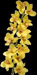 Орхидея «Голден Флис»