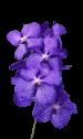 Орхидея «Ванда сиреневая»