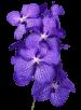 Орхидея «Ванда синяя»