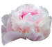 Пион бледно розовый