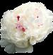 Пион кремовый с розовым