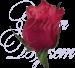 Роза Кения рубиновая 40 см