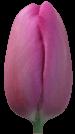 Тюльпан Маркиз (Tulip Markiz)